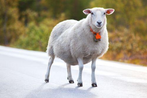 Chovajme ovce, ovečky, jahniatka