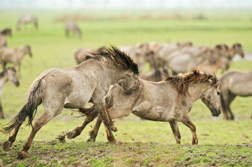 Kone divoké, divé, zdivočené...