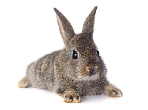 Kastrovaný králik