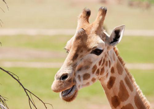 Žirafa má naozaj čierny jazyk. Pozrite si video