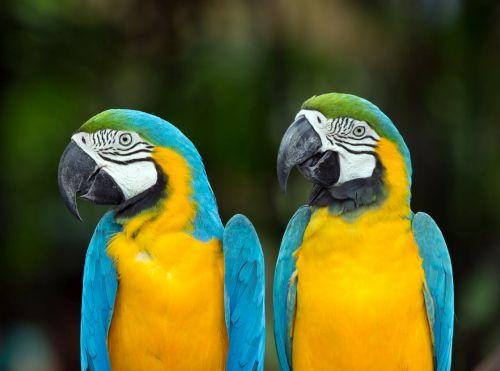 Separačná úzkosť papagájov