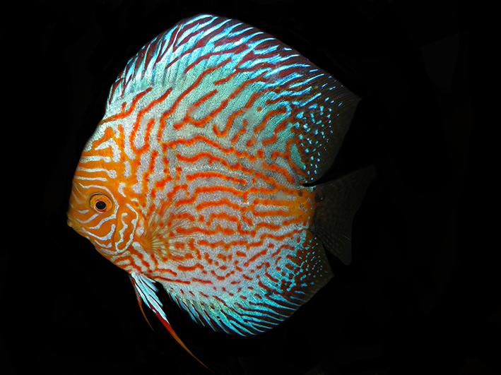 Terčovec, kráľ akvária