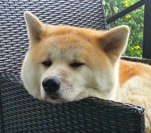 Akita Inu – Japonský psí samuraj