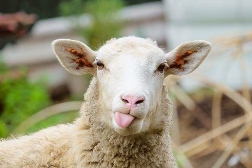 Ako správne osloviť, či volať ovcu