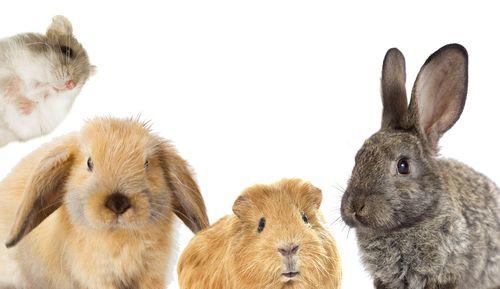 Čo potrebujeme pre škrečka, morča, králika a ako sa k nim správať?
