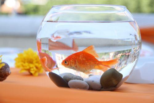 Zlatá rybka