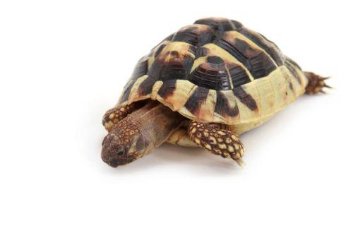 Aký druh korytnačky si vybrať
