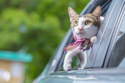 Na cestovanie musíte mačku pripraviť
