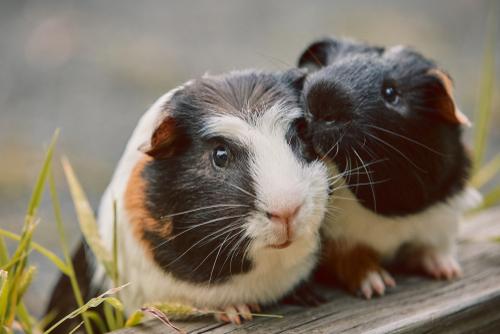 Morča, guinea pig, morské prasiatko