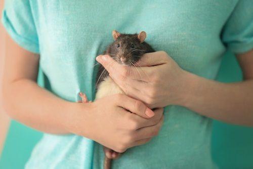 Čo treba vedieť o potkanoch chovaných doma