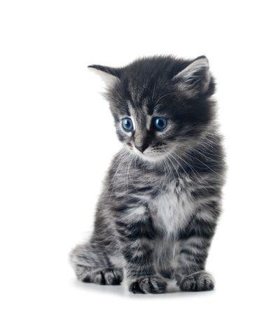 Za psa, mačku a fretku bez čipu bude pokuta