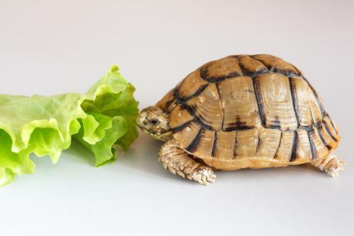 Čím kŕmiť suchozemské korytnačky