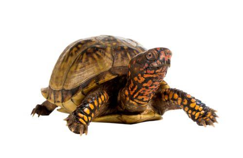 Suchozemská korytnačka – pohodové zvieratko