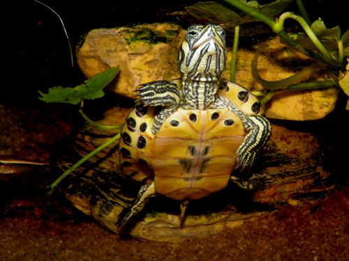Vodná korytnačka v zime