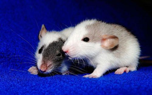 Moje potkany - rodinka sa rozrástla