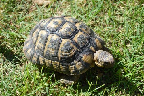 Čím kŕmiť a čím nekŕmiť suchozemské korytnačky