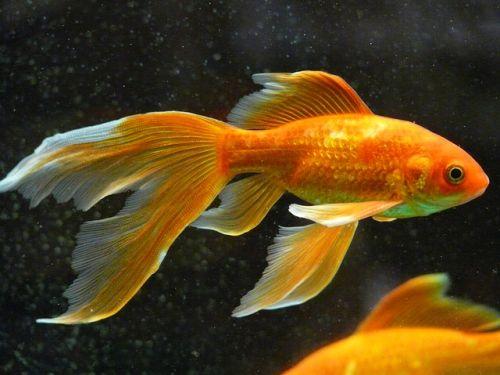 Tuberkulózou Vás dokáže nakaziť aj akváriová ryba